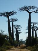 Baobab Bäume in Madagaskar