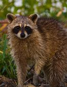 image of raccoon  - Raccoon Stopped and looking to see what is in way - JPG