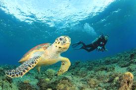 picture of biodiversity  - Hawksbill Sea Turtle and Scuba diver - JPG