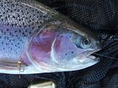 Rainbow Trouts Head With Hares Ear