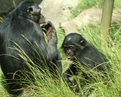 A mother and baby bonobo