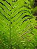 Fern In A Peaceful Garden