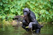 Bonobo ( Pan Paniscus)  With Cub In The Water