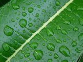 Wet Leaf Of A Frangipani