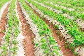 Plant Strawberry At Chiangmai Thailand