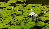 Beautiful Water Lilies On A Background