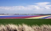 colorful hyacinth fields