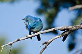 Mountain Bluebird Scratching An Itch