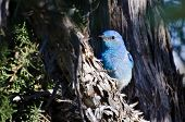 Mountain Bluebird Hiding In A Pinyon Pine Tree