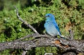 Profile Of A Mountain Bluebird