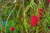A red bottlebrush bush