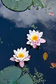 Two Water Lilies In A Pond