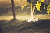 image of trumpet flower  - White Brugmansia flower or Angel - JPG