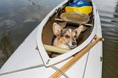 Corgi dog in a decked expedition canoe on a lake in Colorado, a distorted wide angle fisheye lens perspective