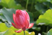 Lotus flower with dew