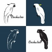 picture of cockatoos  - Vector image of an cockatoo on white background and blue - JPG