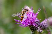 Hoverfly Resting On Thistle Flower
