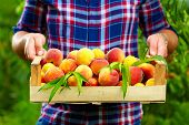 image of crate  - gardener holding a crate of summer fruit ripe peaches - JPG