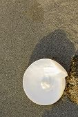 picture of pearl-oyster  - Sea shell with pearl on the sandy beach - JPG