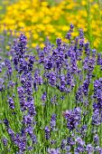 lot of flowers of violet lavender blooming in garden