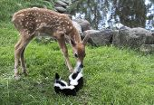Baby deer with baby skunks