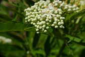 foto of elderflower  - little buds of white spring elderflower with leafs - JPG
