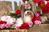 Beaver york terrier and pink roses