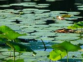 stock photo of water bug  - Pond full of green water lilies with sparkling water droplets on the tops - JPG
