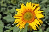 foto of locust  - Locust on sunflower  - JPG