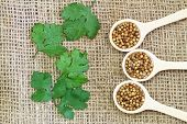 Coriander seeds on wooden spoons and coriander leaves