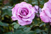 Fragrant Rose In Full Bloom