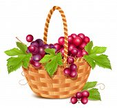 Bunch of fresh pink grape in the basket. Vector illustration.