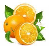 Fresh ripe oranges with leaves and blossom. Vector illustration for your design. Packing orange juic