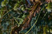 Locusts Eat Of Green Leaves.