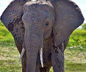 stock photo of kilimanjaro  - Kilimanjaro elephants in Amboseli National Park - JPG