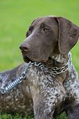 German Shorthaired Pointer Dogs