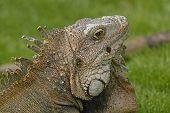 Head Shot Of A Green Iguana