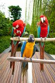 Three beautiful red, blue and yellow macaw perched on a wooden post by the tropical garden