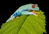 Tree Frog Climbing On Leaf
