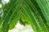 Close up of tamarind leaves and branch