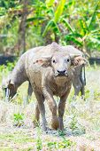 Thai Dirty Buffalo Bull Walking On The Field