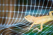 Orange Iguana On The Net
