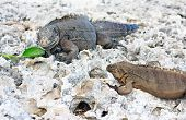 Two wild iguanas divide one green leaf.
