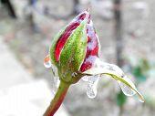 rose frozen