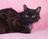 Black Fluffy Cat In Blue Collar Lying On Pink