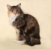 Tricolor Cat Sitting On Yellow
