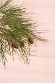 Pine Tree Branch Close-up