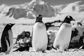 Three penguins standing, mountains in the background