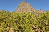 Pine Tree Forest And Mountain. La Palma. Spain