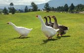 Flock of geese standing on fresh green grass.